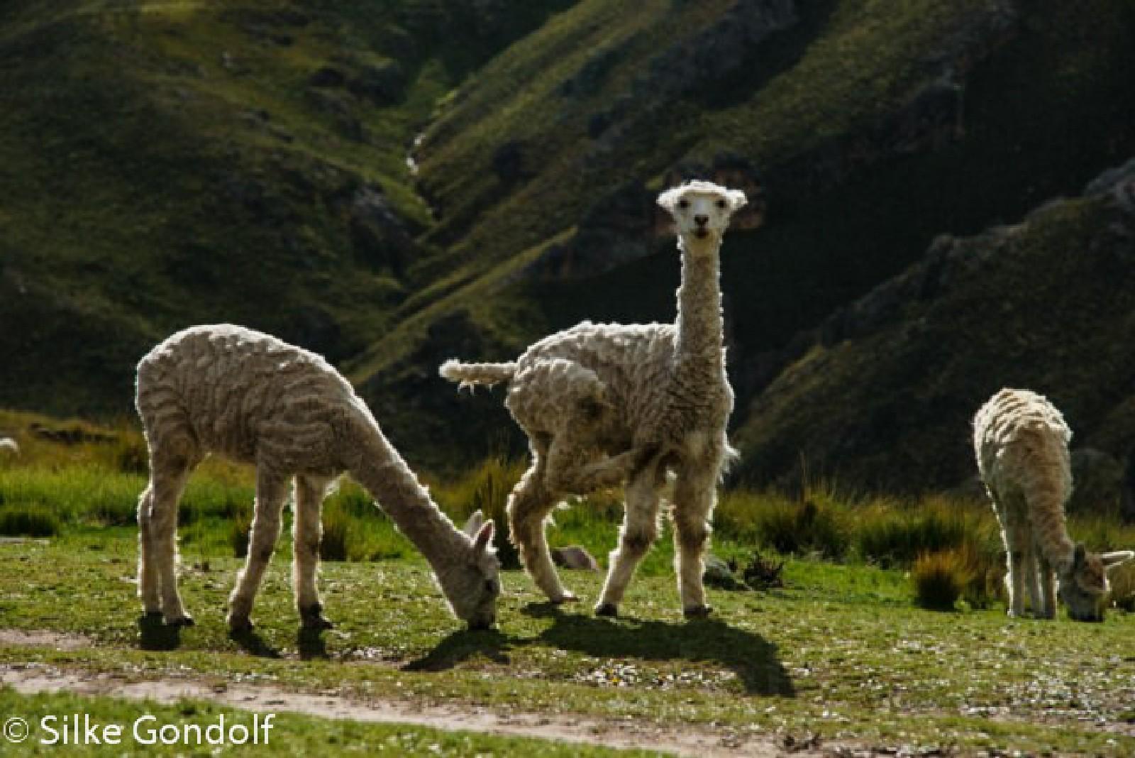 Peru Sibayo